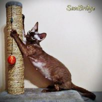 Chocolate Female Devon Rex