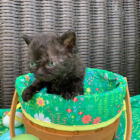 Solid Black Female Devon Kittens Available for Reservation