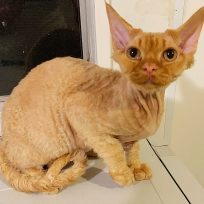 Ready to Go Devon Rex Male Kitten