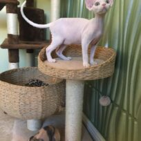Male kitten available