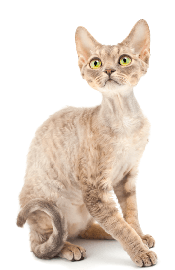 About Devon Rex Kittens