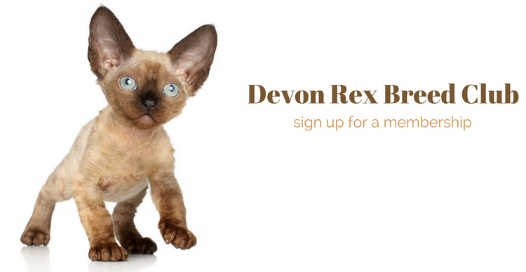 Photo of Devon Rex kitten.