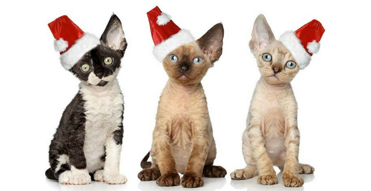 Photo of 3 Devon Rex kittens with santa hats.